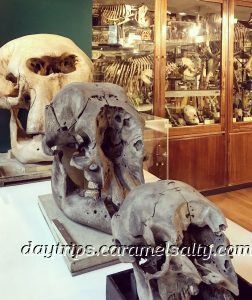 Skeletons at the Grant Zoology Museum