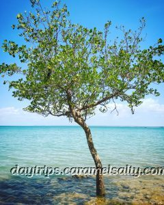 A Lone Tree on Lameroo Beach