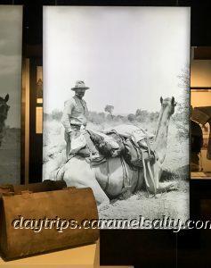 Camels in the Australia Bush