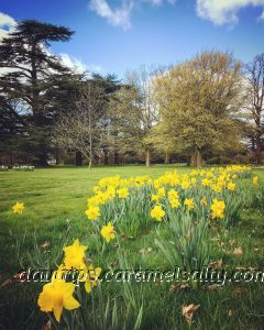 Daffodils at Osterley Park
