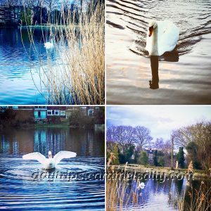 A Montage of the Swans at Hampstead Heath