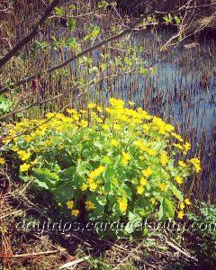 Bright Yellow Marsh Marigold At Barnes Wetlands