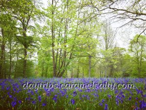 Blue Bells At Cliveden