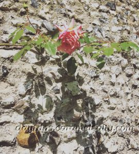 Rose on A Flint Wall