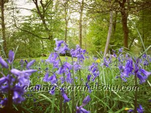 Carpets of Blue Bells At Cliveden